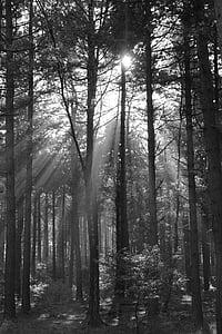 arbres, bosc, natura, raigs del sol, sol, llum del sol, feix de llum