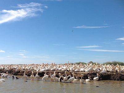 Пелікани, Природа, дикої природи, політ, великий птах, води, птах