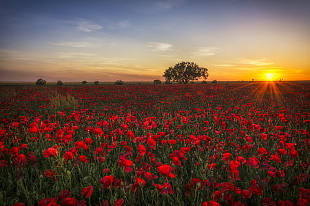 poppies, sunset, red, clouds, red sun, twilight, horizon