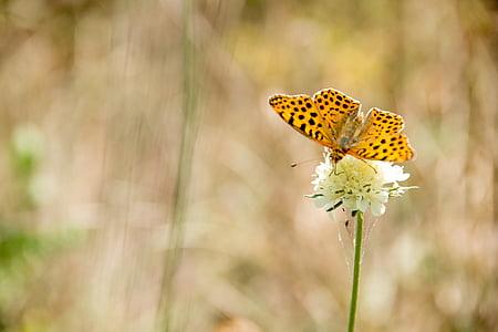 pillangó, természet, rovar, állat, nyári, zár, szárny