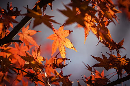 autumn leave, japan, nature, maple, red, fall, leave