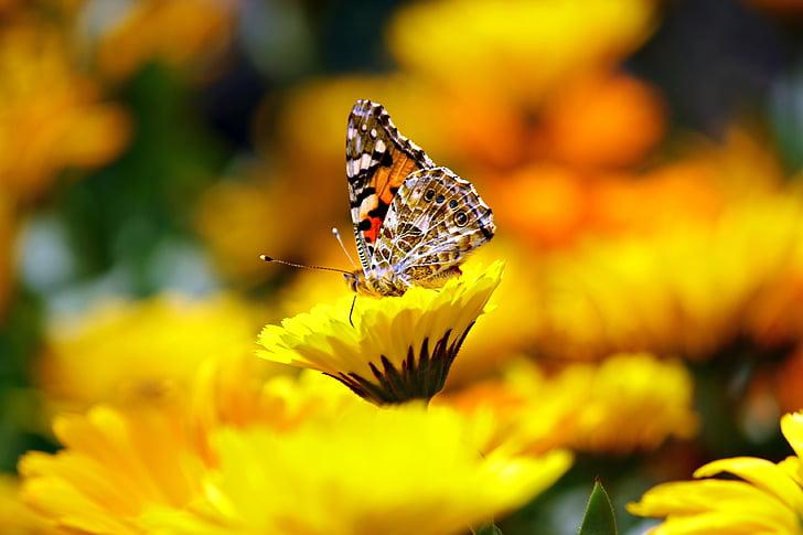 vlinder, insecten, dier, Morpho, peleides, Monarch, bloem