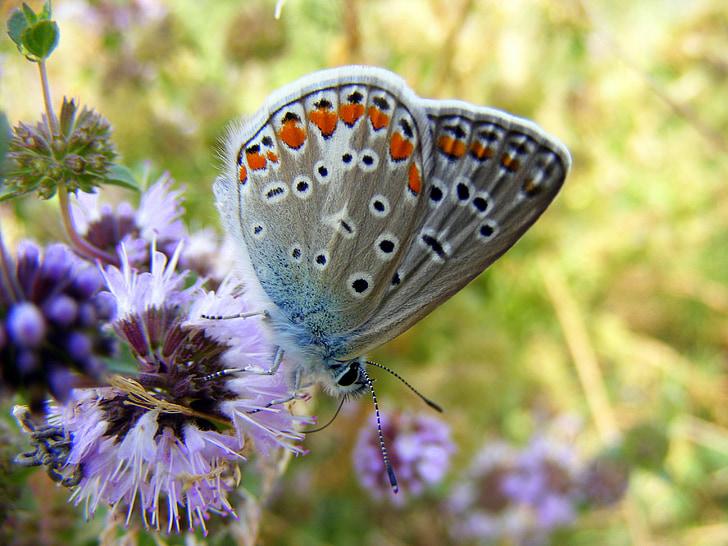 tauriņš, zila, puķe, zaļa, daba, zāle, Insecta