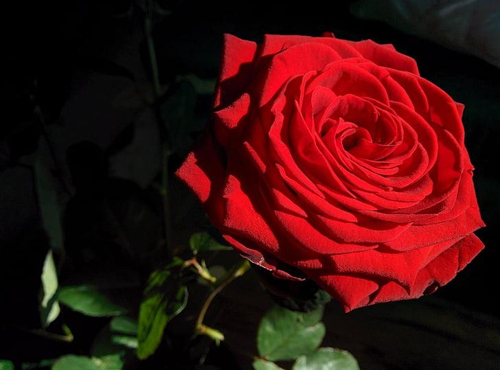 Rosa, flor, sol, close-up, vermell, brillant, flor