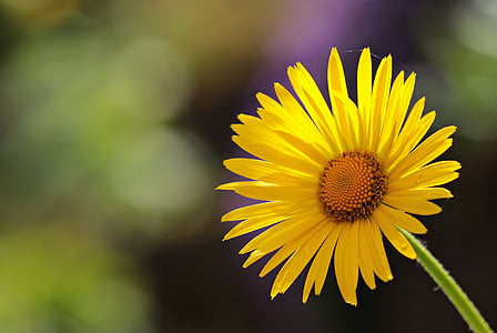 flower, daisies, blossom, bloom, nature, plant, yellow