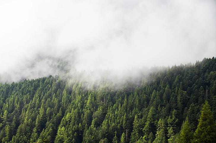 verde, árvores, planta, natureza, floresta, nevoeiro, frio