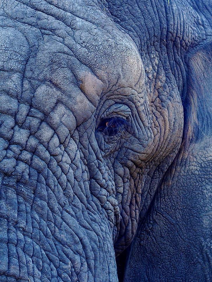 マクロ, ショット, 象, 目, しわ, 1 つの動物, 動物の身体の部分
