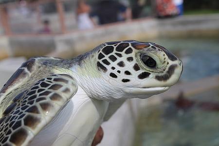 morske želve, zelena morska želva, Kajmanski želva, morje, želva, turizem, ogrožene