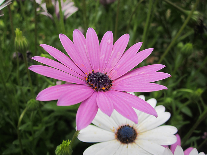 daisy, purple flowers, purple daisies, flowers, garden, nature