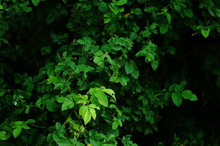 yaprakları, Yeşil, karanlık, yaprak, doğa, arka planlar, yeşil renk