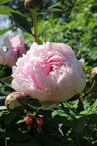the peony, flower, garden, yard, summer, garden flower, pink color