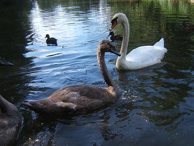 monkey mountain, salem, swans, lake, birds