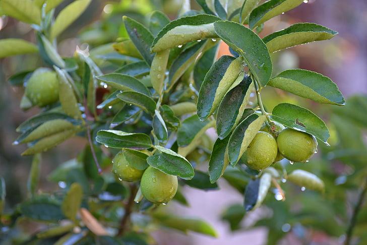 llimona, calç, verd, fulles, fruites, fruita, fruita mediterrània