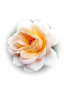Rosa, flor, flor, bellesa, flor rosa, flor, fragància