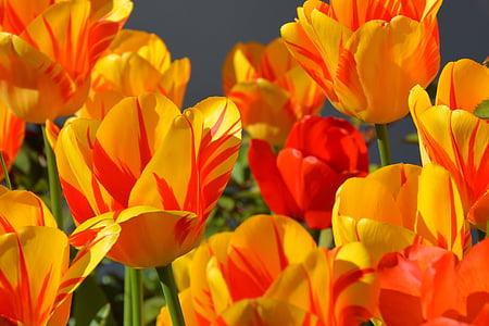 tulbid, Tulip lill, lilled, punane, kollane, oranž, roheline