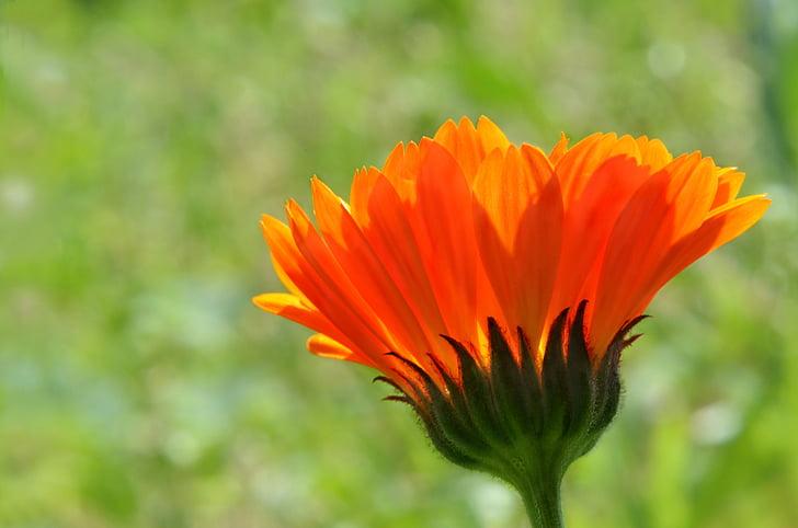 λουλούδι, πορτοκαλί χρώμα, χλωρίδα, ανησυχείτε