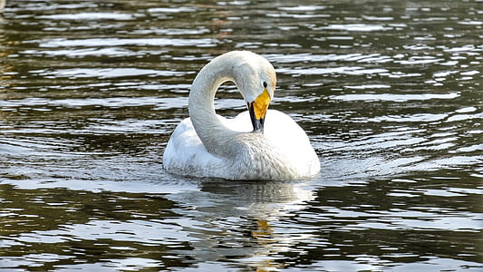 animal, swan, waterfowl, wild birds, wild animal, natural, swan lake