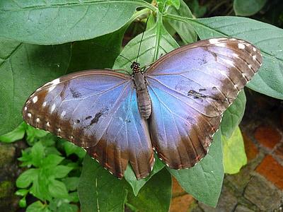 perhonen, Butterfly house kukkasaarta, sininen, hyönteinen, Luonto, Butterfly - hyönteisten, eläinten