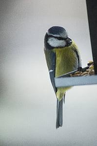 малки птици, птица маса, птица храна, птица, семена, хранене, син синигер