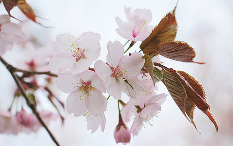 japanese cherry trees, japanese flowering cherry, spring flower, ornamental cherry, tree, spring, japanese cherry