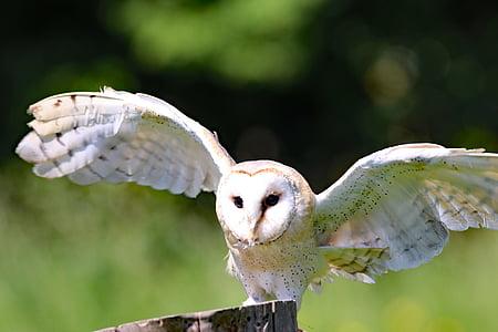 นกแสก, นกฮูก, นก, ยุ้งข้าว, สัตว์, สัตว์ป่า, ธรรมชาติ