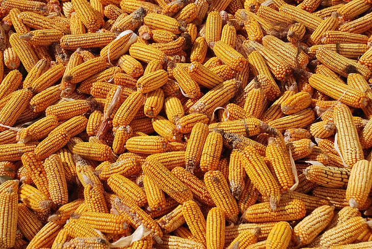 blat de moro, collita, fons de blat de moro