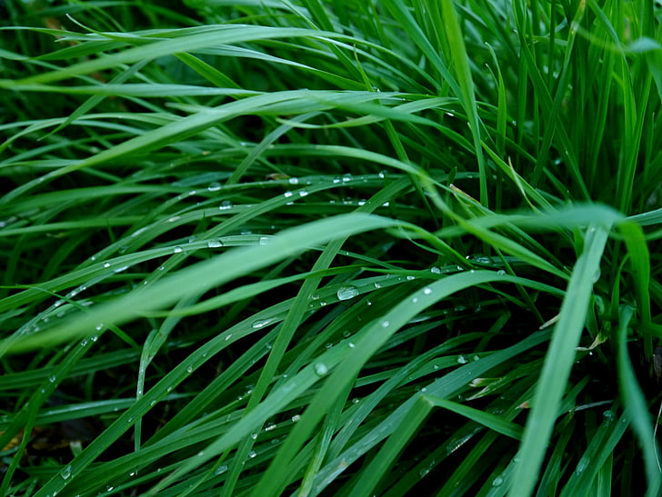 grass, green, dew, drops of morning dew