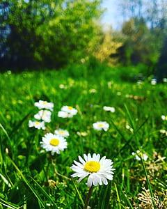 daisy, flowers, garden, green, flower, spring, grass