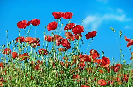 poppy, flower, klatschmohn, blossom, bloom, red, field of poppies