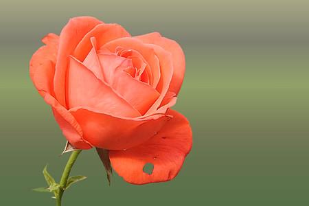Hoa hồng, màu da cam, cá hồi, Hoa hồng nở, Blossom, nở hoa, Thiên nhiên