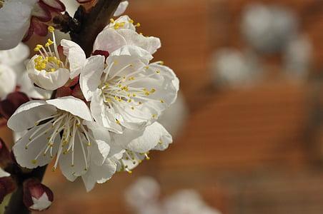 kwiaty wiśni, kwiaty moreli, białe kwiaty, kwiat, Pączek, wiosna, biały