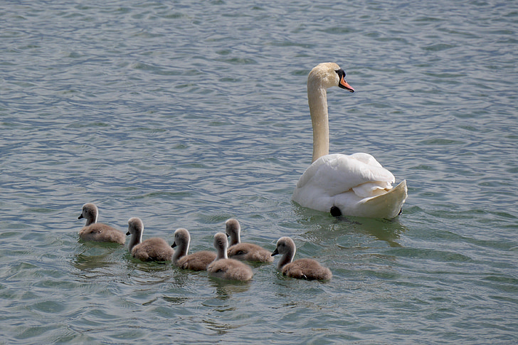 swan family, young swans, lake constance, animals, swan, wildlife photography