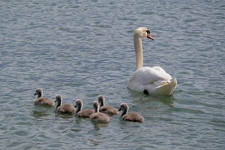 Swan familien, unge svaner, Bodensøen, dyr, Svane, dyreliv fotografering