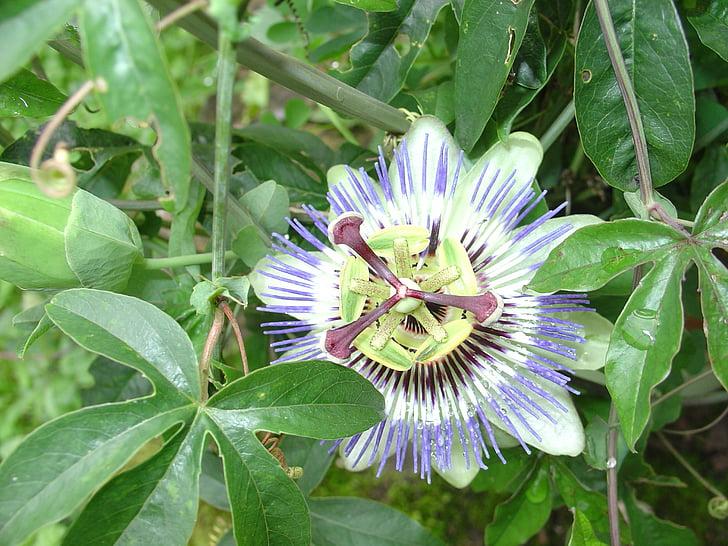 flor de la passió, flor, flor, planta, flors, planta de flor de passió