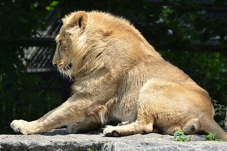 lion, animal, mammal, predator, feline, lion - Feline, wildlife