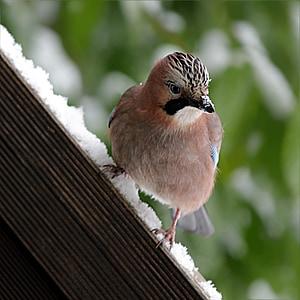 bird, jay, garrulus glandarius, winter, snow, foraging, animal