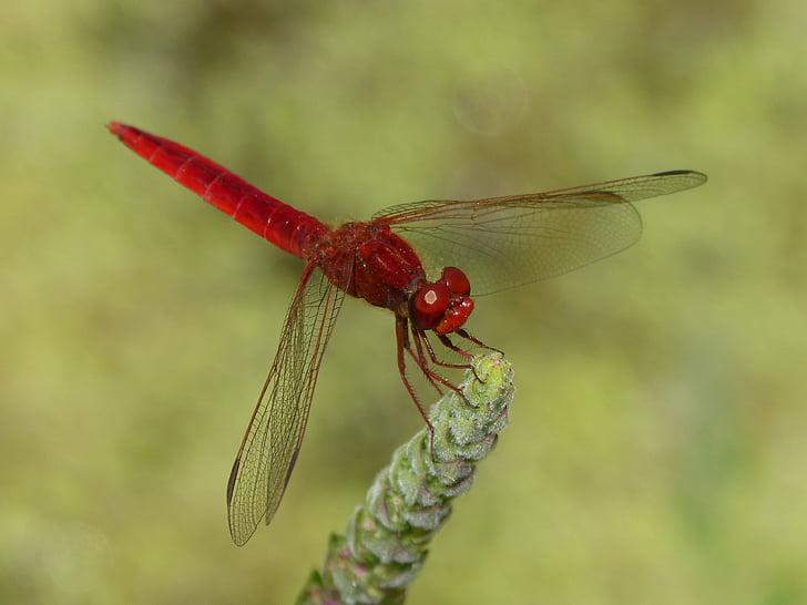 sarkans spāre, mitrāju, mātes, spāre, spārnoto kukaiņu, erythraea crocothemis