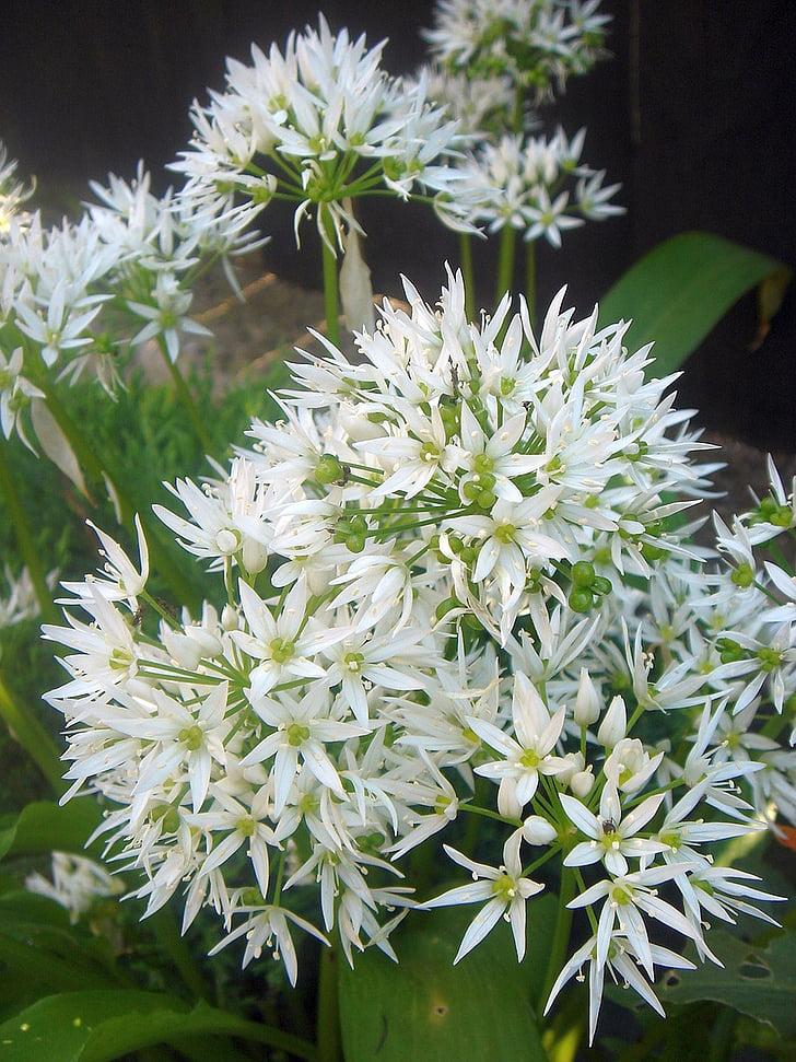 bloem, kruiden, knoflook, wit, Tuin