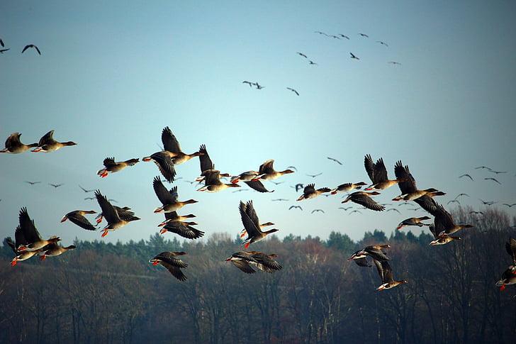 wild geese, flock of birds, winter, migratory birds, swarm, geese, birds