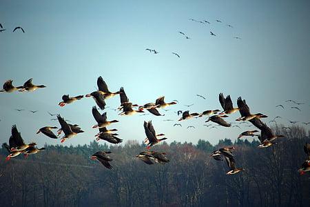 divlje guske, jata ptica, Zima, ptica selica, Roj, guske, ptice