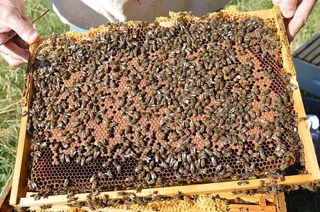 cria, tancat, cria de marc, abella, rusc, mel, apicultor