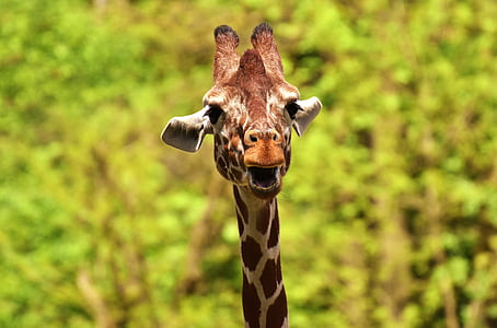 giraffe, wild animal, stains, long jibe, animals, africa, zoo