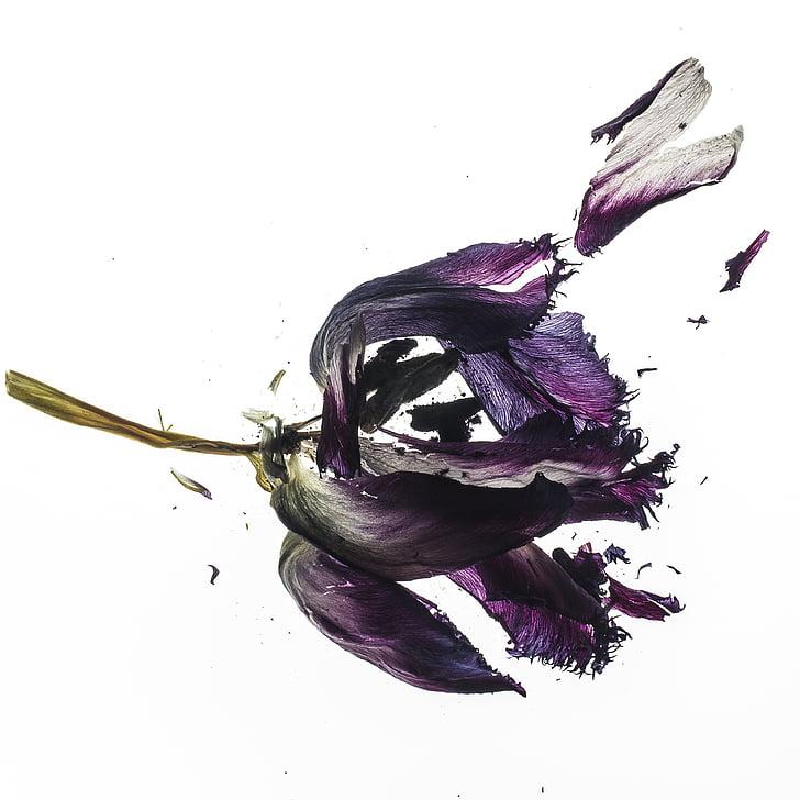 Tulip, kuivatatud, taim, lill, Kuivatatud lilled, loodus, taimed