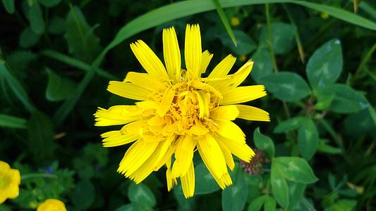 野生の花, イエロー, 草原, 黄色の野生の花, 黄色の花