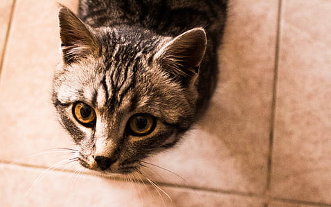 tomcat, view, pet, mammal, cat, animal, eyes