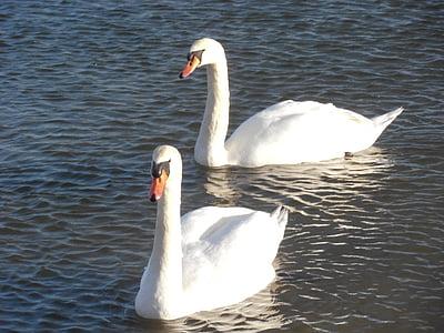 swan, nature, bird, water, swans, birds, wild birds