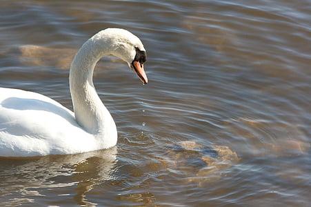 water, swan, mute, profile, swans, birds, animals
