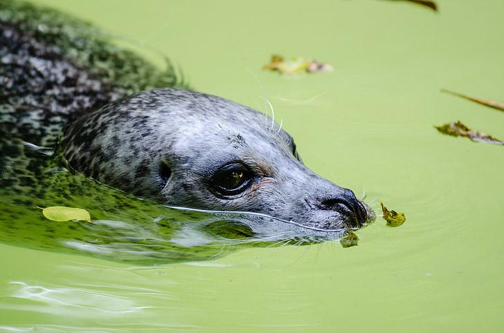 Harbor tätning, simning, däggdjur, djur, vattenlevande, vilda djur, Marine