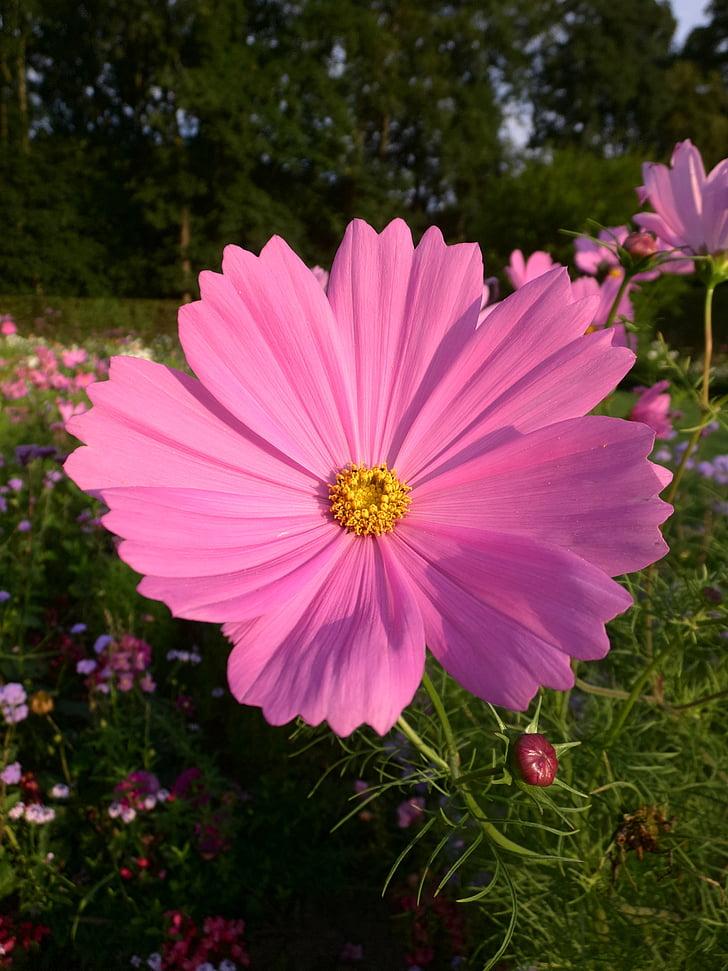 cosmea, pink, blossom, bloom, flower, summer, nature