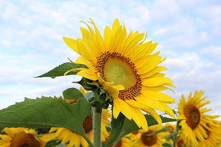 sunflower, flower, yellow, plant, floral, bloom, blooming
